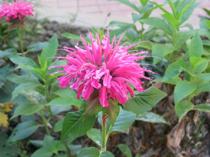 800px-Pink Bee_balm